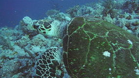 Hawksbill Turtle in the Red Sea. Hawksbill Turtle on a coral reef in the Red Sea stock video