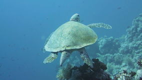 Hawksbill Turtle in the Red Sea stock video footage