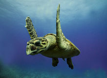 Hawksbill Turtle in the Red Sea Stock Photo