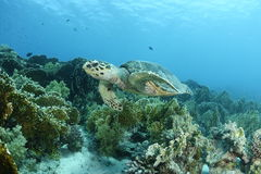A hawksbill turtle in the Red Sea. This hawksbill turtle had a morning swim in Tiran near Sharm El Sheikh, Egypt stock photo