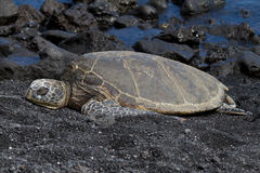 Hawksbill Turtle. Resting on a beach in Hawaii royalty free stock photography