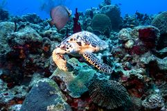 Frontal view of a hawksbill turtle, an endangered species. royalty free stock photos
