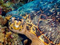Hawksbill Turtle Resting on Colorful Coral, Closeup stock photography