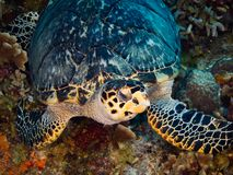 Hawksbill Turtle Resting on Coral stock photo