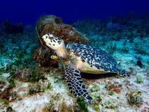 Hawksbill Turtle Resting next to Barrel Sponge stock images