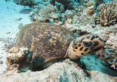 Hawksbill turtle resting on the seabed Stock Images