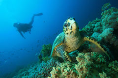 Hawksbill Turtle and Scuba Diver Royalty Free Stock Image