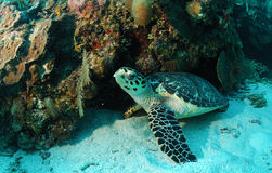 Hawksbill turtle on sea bottom. Hawksbill turtle underwater near coral reef. Species: Eretmochelys imbricata Royalty Free Stock Image