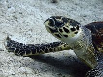 Hawksbill turtle on the seabed stock photos