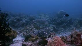 Turtle on a coral reef in Raja Ampat Indonesia 4k. Hawksbill turtle on a shallow coral reef.  South Raja Ampat dive site Cape Kri 4k footage stock video footage