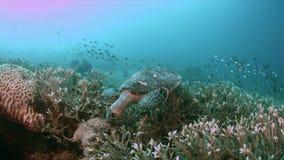 Turtle on a coral reef in Raja Ampat Indonesia 4k. Hawksbill turtle on a shallow coral reef.  South Raja Ampat dive site Sawandorek 4k footage stock video footage