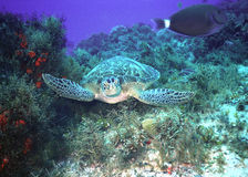 Hawksbill turtle & surgeon Stock Photography