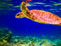 Hawksbill Turtle Swiming Like Flying Royalty Free Stock Photography