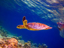 Hawksbill Turtle Swiming Like Flying Stock Photo