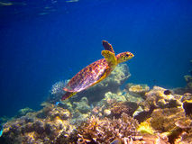 Hawksbill Turtle Swiming Like Flying Royalty Free Stock Images