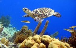 Hawksbill Turtle. A hawksbill turtle swimming along the reef Royalty Free Stock Image
