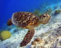 Hawksbill Turtle. A Hawksbill Turtle swimming along a reef Royalty Free Stock Images