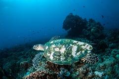 Hawksbill Turtle swimming around the coral reefs in Gili, Lombok, Nusa Tenggara Barat, Indonesia underwater photo Stock Image
