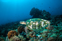 Hawksbill Turtle swimming around the coral reefs in Gili, Lombok, Nusa Tenggara Barat, Indonesia underwater photo Royalty Free Stock Photography