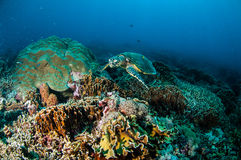 Hawksbill Turtle swimming around the coral reefs in Gili, Lombok, Nusa Tenggara Barat, Indonesia underwater photo Royalty Free Stock Photos