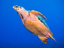 Hawksbill Turtle Swimming royalty free stock photos