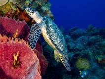 Hawksbill Turtle Swimming stock photos