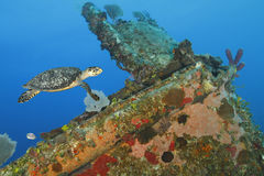 Hawksbill Turtle swimming over a coral encrusted shipwreck Stock Photography