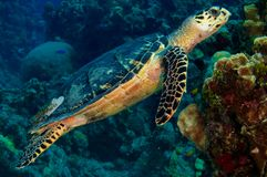Hawksbill Turtle Swimming over Coral stock image