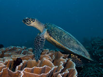 Hawksbill turtle swimming over coral reef in Raja Ampat, Indonesia Royalty Free Stock Photography