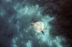 Hawksbill turtle. Swimming over coral reef in Raja Ampat, West Papua Stock Image