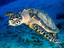 Hawksbill Turtle swimming over Sand royalty free stock photography