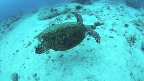 Hawksbill Turtle Swimming Stock Image