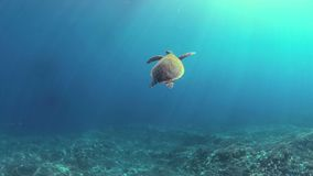 Hawksbill turtle swims on a Coral reef 4k. Hawksbill turtle swims on a colorful coral reef. 4k footage stock footage