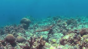 Hawksbill turtle swims on a Coral reef 4k. Hawksbill turtle swims on a colorful coral reef. 4k footage stock video