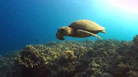 Hawksbill turtle swims on a Coral reef 4K. Hawksbill turtle swims on a Coral reef. Close up 4k footage stock footage