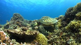 Hawksbill turtle swims on a Coral reef 4K. Hawksbill turtle on a Coral reef. 4k footage stock footage