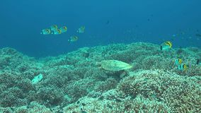Hawksbill turtle swims on a coral reef 4k. Hawksbill turtle swims on a coral reef. 4k footage stock video