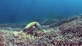 Hawksbill turtle swims on a Coral reef 4k. Hawksbill turtle swims on a colorful coral reef. 4k footage stock video footage