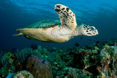 Hawksbill turtle swims by over a coral reef. Reflection of water surface in background Royalty Free Stock Image