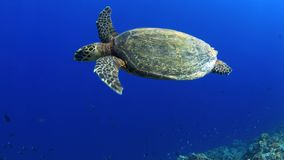 Hawksbill turtle swims over a Coral reef 4K stock footage