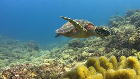 Hawksbill turtle swims over a Coral reef 4K. Hawksbill turtle swims over a Coral reef. 4k footage stock video