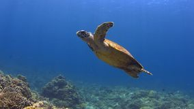 Hawksbill turtle swims over a Coral reef 4K stock video