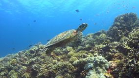 Hawksbill turtle swims over a Coral reef 4K stock video footage