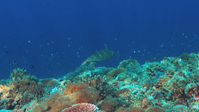 Hawksbill turtle swims over a Coral reef. 4K stock footage