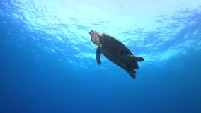Hawksbill turtle swims to the surface 4K stock video footage