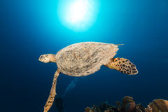 Hawksbill turtle and tropical reef in the Red Sea. Royalty Free Stock Image