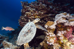 Hawksbill turtle and tropical reef in the Red Sea. Royalty Free Stock Images