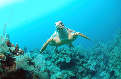 Hawksbill turtle under water. Front view of a Hawksbill turtle swimming in the ocean under water Royalty Free Stock Photography