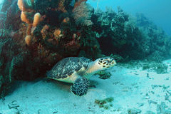 Hawksbill turtle underwater Stock Images