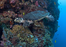 Hawksbill Turtle on wall reef Royalty Free Stock Image